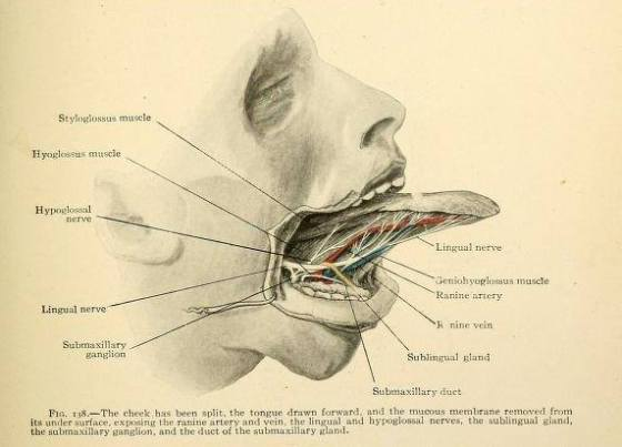The anatomy of the tongue beneath the mucous membrane by Erwin F. Faber from 'Applied anatomy - the construction of the human body considered in relation to its functions; diseases and injuries' by Gwilym G. Davis, 1916.